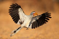 Yellow-billed hornbill landing Royalty Free Stock Photo