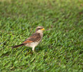 Yellow-billed Shrike Royalty Free Stock Image