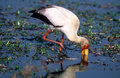 Yellow-billed stork Royalty Free Stock Images