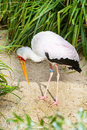 Yellow billed stork, Mycteria ibis aka wood stork or wood ibis Royalty Free Stock Photo
