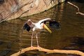 Yellow billed stork mycteria ibis fuengirola standing on a log Royalty Free Stock Photo