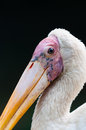 Yellow billed stork mycteria ibis at the jurong bird park in singapore Royalty Free Stock Images