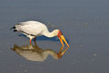 Yellow-billed stork (Mycteria ibis) Royalty Free Stock Photo