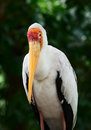 Yellow billed stork mycteria ibis is a large wading bird in the family ciconiidae Royalty Free Stock Photos