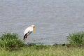Yellow Billed Stork Near A Wat...