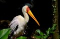 Yellow billed stork peers at camera singapore june a the singapore s jurong bird park wetlands exhibit jurong bird park is Stock Photo