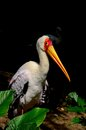 Yellow billed stork peers at camera singapore june a the singapore s jurong bird park wetlands exhibit jurong bird park is Stock Image