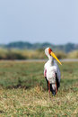Yellow billed stork on the river Chobe Royalty Free Stock Photo