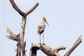 Yellow billed stork on a tree mycteria ibis pearched dead in serengeti national park tanzania Stock Images