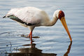 Yellow billed stork water shot lake nakuru kenya Stock Photo