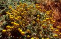 Yellow Billybutton Flowers In ...