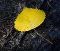 Yellow birch leaf Stock Photography