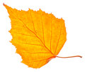 Yellow birch leaf isolated Royalty Free Stock Photo
