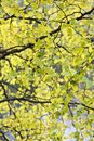 Yellow birch leaves Royalty Free Stock Photo