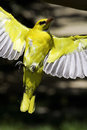 Yellow bird Royalty Free Stock Photos