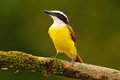 Yellow bird from Costa Rica. Great Kiskadee, Pitangus sulphuratus, brown and yellow tropic tanager with dark green forest in the b Royalty Free Stock Photo