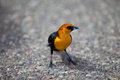 Yellow bird headed blackbird in the park of yellowstone wyoming Stock Photography