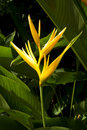 Yellow bird of paradise Royalty Free Stock Photo