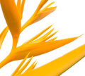 Yellow Bird of paradise flower Royalty Free Stock Photo