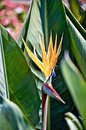 Yellow Bird of paradise flower surrounded by greenery under sunlight with a blurry background Royalty Free Stock Photo