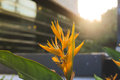 Yellow Bird of paradise. Royalty Free Stock Photo