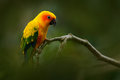Yellow bird. Sun Parakeet, Aratinga solstitialis, rare parrot from Brazil and French Guiana. Portrait yellow green parrot with red