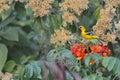 Yellow bird on a tree Stock Image