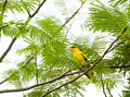 Yellow Bird in Tree Royalty Free Stock Photo