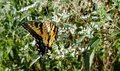 Yellow and Black Butterfly - Eastern Tiger Swallowtail Papilio Royalty Free Stock Photo