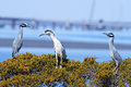 Yellow and black crowned night heron sitting together herons in a tree Royalty Free Stock Image