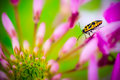 Yellow and black doted beetle on the pink flower Stock Photo