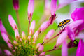 Yellow and black doted beetle on the pink flower Royalty Free Stock Image