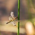 Yellow, black ,dragonfly on green stalk. Royalty Free Stock Photo