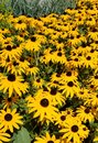 Yellow black-eyed susan flowers in a field Royalty Free Stock Photo