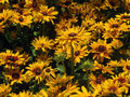 Yellow black eyed susan a gathering of bright and green stemmed Royalty Free Stock Image