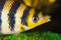 Yellow black striped fish in an aquarium Royalty Free Stock Photography