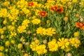 Yellow blanket flowers on display at botanical garden Stock Image