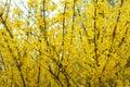 Yellow Bloom Bushes Of Forsythia