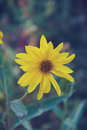 Yellow bloom sunflowers Royalty Free Stock Photo