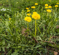 Yellow blooming dandelion plants closeup of flowering dandelions or taraxacum in springtime in their natural habitat Royalty Free Stock Image