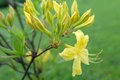 Yellow blooms rhododendron rhododendron luteum after rain Stock Photo