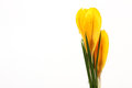 Yellow blossom of spring flowers crocuses on white background with place for text Royalty Free Stock Photo