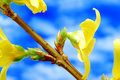 Yellow blossoms on branch Royalty Free Stock Photo