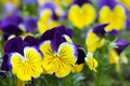 Yellow blue heartsease see my other works in portfolio Royalty Free Stock Photo