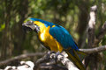 Yellow and blue parrot on a branch Royalty Free Stock Photo