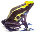 Yellow blue poison dart frog arrow form amazon rain forest on white dendrobates tinctorius cobalt beautiful macro of bright and Stock Photos