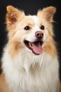 Yellow Border Collie Portrait
