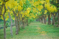 Yellow bower blur of golden shower tree in the public park with full of blooming and shady for relaxation Stock Photos