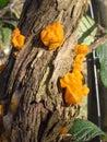 Yellow brain fungus. Stock Photography