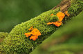 Yellow brain fungus (Tremella mesenterica) Stock Image
